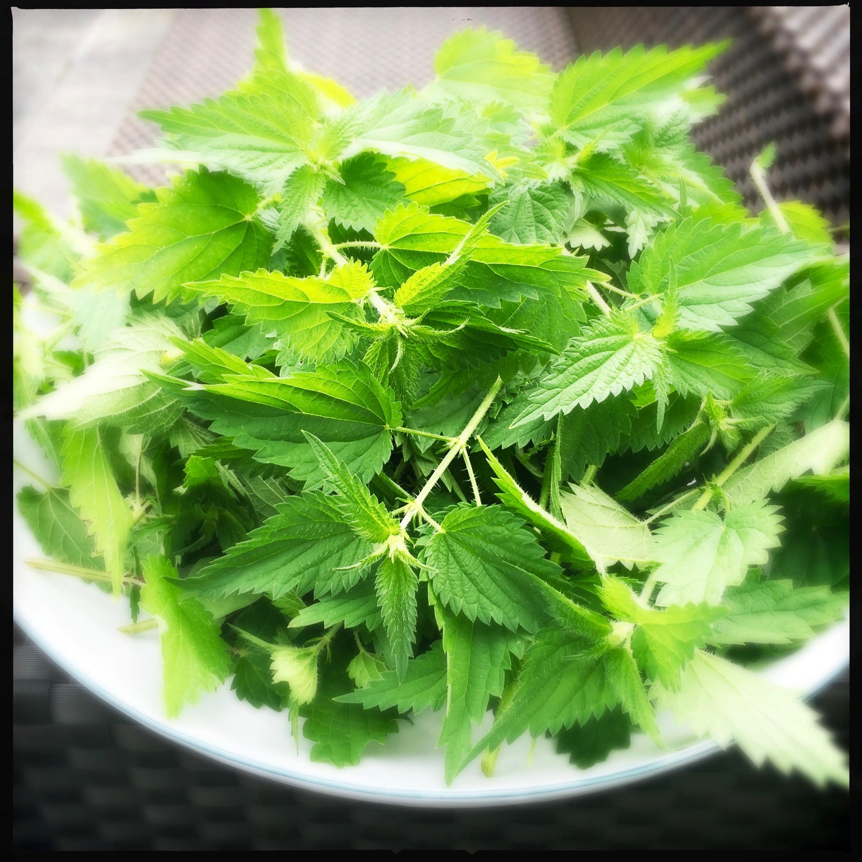 brennessel rezepte spinat